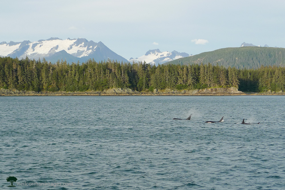 Whales outside of Juneau