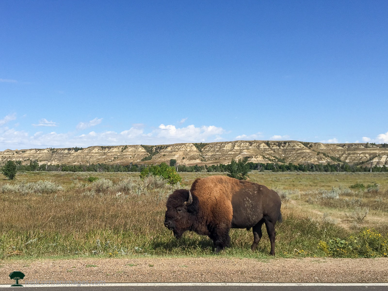 Buffalo in Theodore Roosevelt National Park